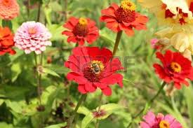 Zinnia Flowers Colorful Zinnia Flowers Growing In Garden Stock Photo Picture And