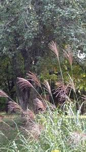 if you t cut back you ornamental grasses now is the time as