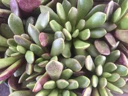 Succulent Plant Get 4 Succulents At The Desert Museum U0027s Plant Sale To Do