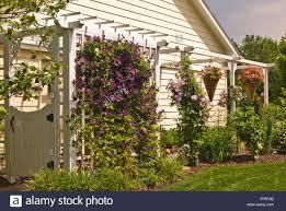clematis vine trellis clematis etoile violette stock photo