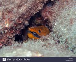 baby eel stock photos u0026 baby eel stock images alamy