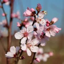 almond trees prunus mail order trees