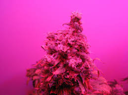 can you really grow marijuana with leds grow weed easy