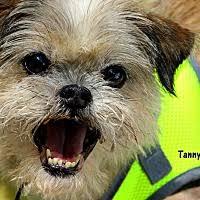 affenpinscher brussels griffon rescue dublin ga pet adoption american brussels griffon rescue