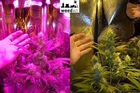 led marijuana grow lights what is the difference between hid grow lights and led grow ls