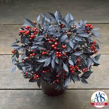 home all america selections aas winners best flower varieties