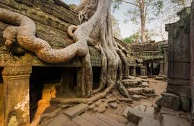 strangler fig trees at ta prohm picture of ta prohm siem reap