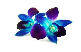 blue dendrobium orchids dendrobium orchid blue wholesale orchids theflowerexchange