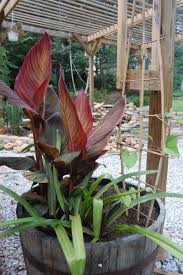 canna lilies potting a canna caring for cannas in containers