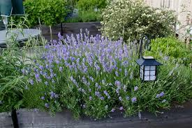 Low Light Outdoor Plants Growing Lavender Bonnie Plants