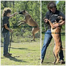 training a belgian sheepdog belgian malinois