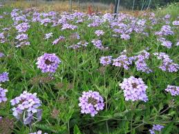 planting verbena flower verbena growing conditions and care