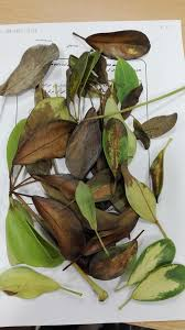 Umbrella Plant Diseases - schefflera house plant dying what to do