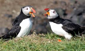 puffin season in iceland via tours iceland