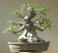 bonsai saule pleureur bonsai de figueira google search bonsai pinterest