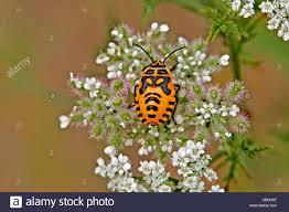 was ist das für ein insekt eine wanze oder was urlaub insekten orange wanze stock photos orange wanze stock images alamy