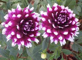 dahlias flowers dahlia flower pictures blue and dahlia flowers