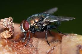 fruit flies in sink flies in kitchen fruit fly drain fly and fungus gnat flies around