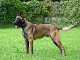 belgian shepherd special forces dogs for sale family protection dogs k9 security england