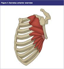Anatomy Of The Shoulder Girdle Serratus Anterior Shoulder Injuries El Paso Back Clinic U2022 915