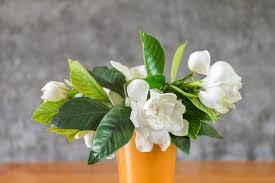gardenia flower gardenia not blooming