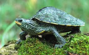 map turtle northern map turtle