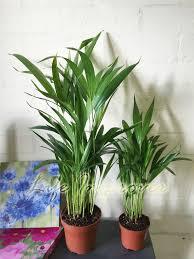 1 x areca palm plant in pot indoor garden office evergreen