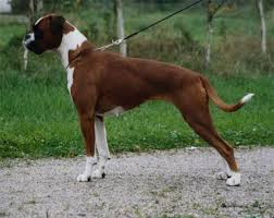boxer dog tail docking 42 best family future fur babies images on pinterest animals