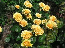 Golden Roses Chartwell In 2006 The Golden Rose