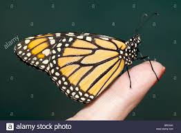 butterfly on finger stock photo 31414395 alamy