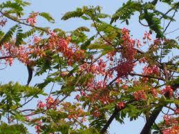 the gardener summer sherbet mumbai s flowering trees