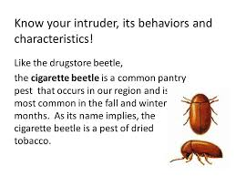 Biscuit Beetle In Bedroom Fly Control How To Get Rid Of Cigarette Beetles Youtube