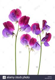 sweet peas flowers sweet pea flowers arranged in a row isolated on white background