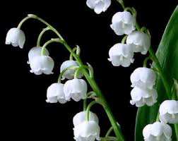 Lily Of The Valley Flower 340x270px Lily Of The Valley Live Image 15 1455457459