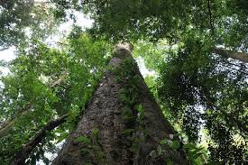 africa s tallest tree discovered towering on continent s highest