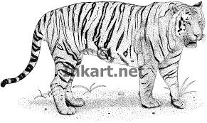 bengal tiger stock illustration