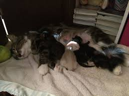 cats afterpains i need more info or personal experience with interrupted labor it s