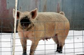 characteristics u0026 differences of a mini pig vs a full sized farm