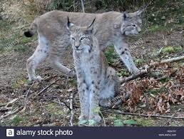 Rabenklippe Bad Harzburg Two Lynxes Inside The Lynx Enclosure At Rabenklippe Near Bad