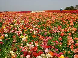 carlsbad flower garden rendering grace carlsbad flower fields
