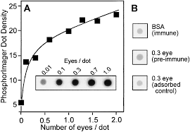 coordination between production and turnover of interphotoreceptor