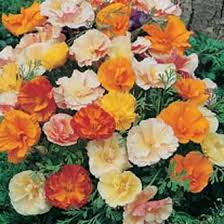 California Poppy California Poppy Double Mixed Johnsons Seeds Flower Seeds
