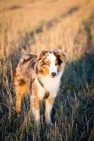 petz 5 australian shepherd pin by zane gravens on dogs pinterest