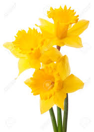 daffodils stock photos u0026 pictures royalty free daffodils images