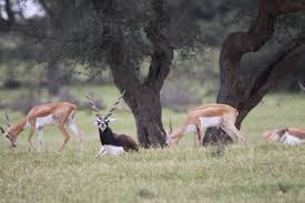the land of the bishnois where conservation of wildlife is a