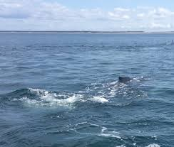 Whale Watches Cape Cod - private whale watching photo gallery ginny g cape cod fishing