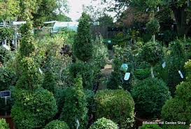 English Box Topiary - box topiary bunkers hill plant nursery