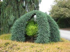 Topiary Cloud Trees - cloud pruned hornbeam fruit trees pinterest gardens plants