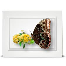 morpho butterfly sideview folded card cottage blooms cards