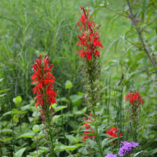 cardinal flower flower seeds lobelia cardinalis